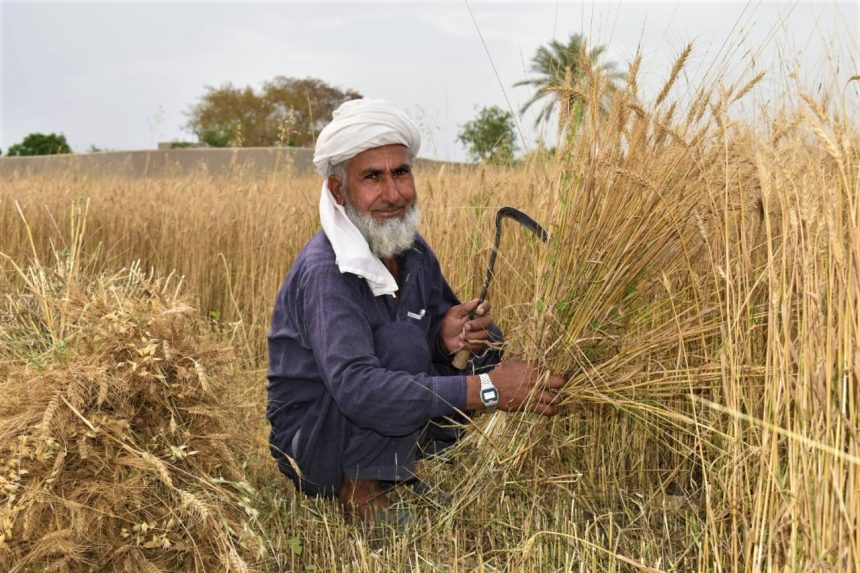 Wheat harvest brings relief to farmers in tribal districts of Khyber Pakhtunkhwa amid the COVID-19 pandemic