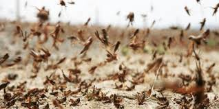 There are currently locusts in 61 districts of the country, NDMA